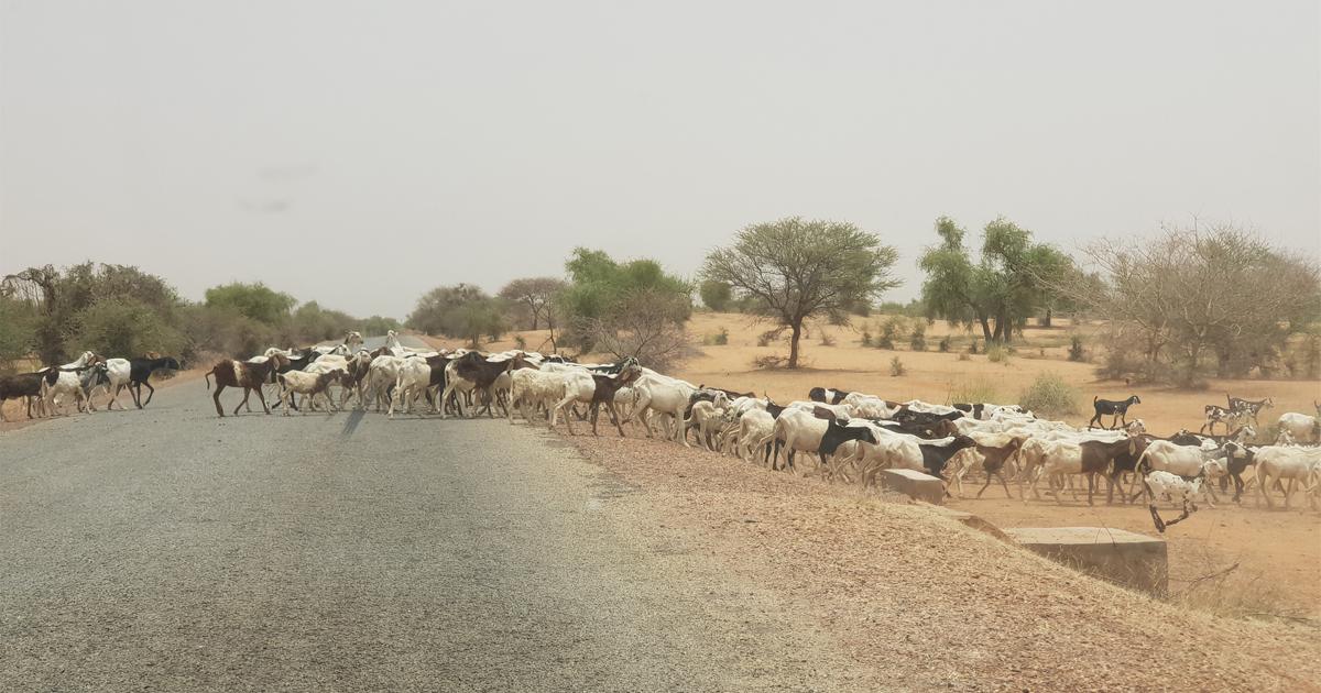 Analyse de l'économie liée au vol de bétails dans la zone des 3 frontières