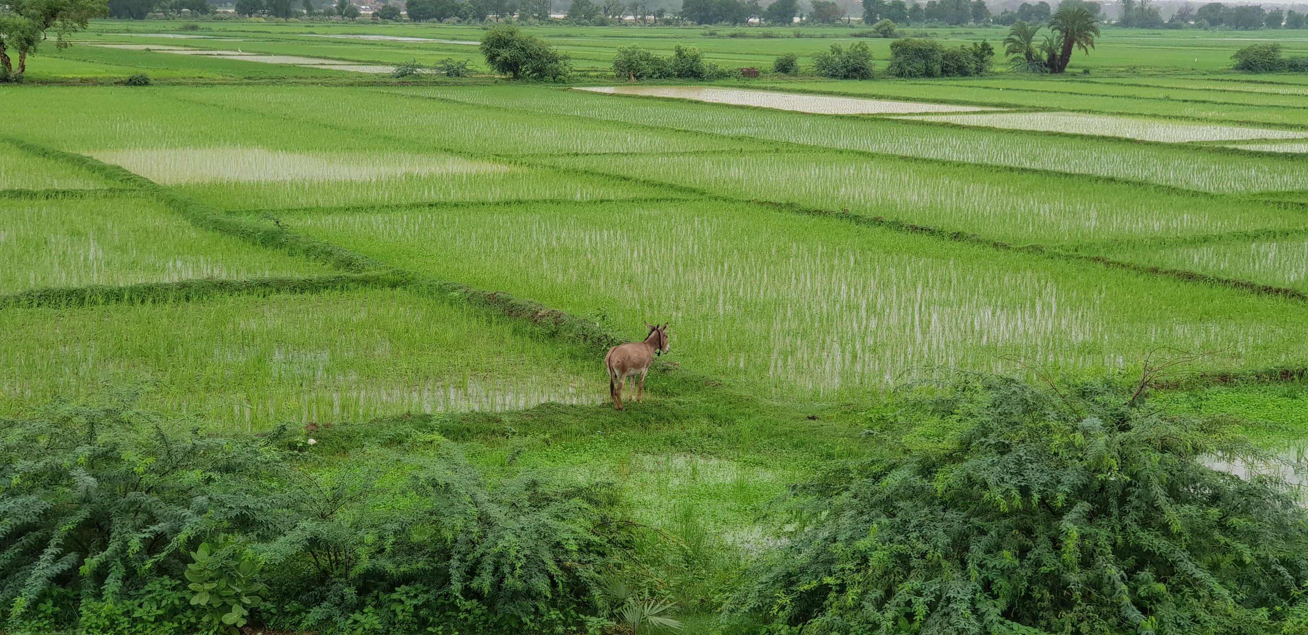 Département de Gaya : environ 150 hectares de cultures de riz sont engloutis par les eaux du fleuve Niger
