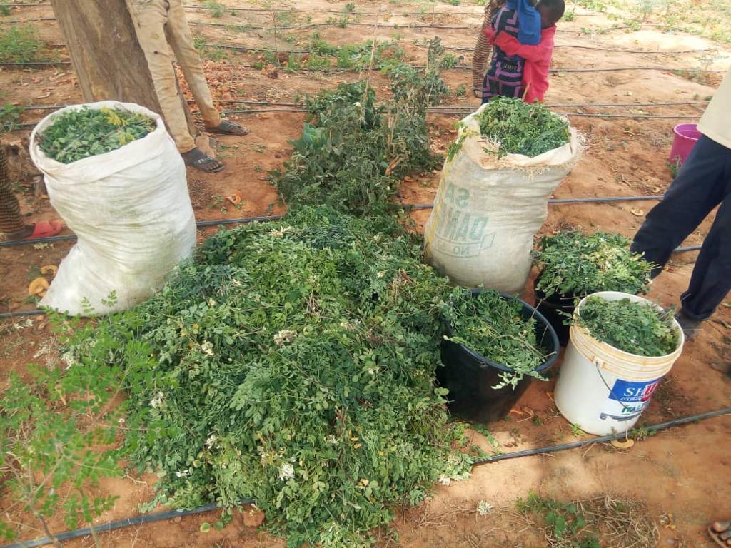 Quelles sont les vertus du moringa ?